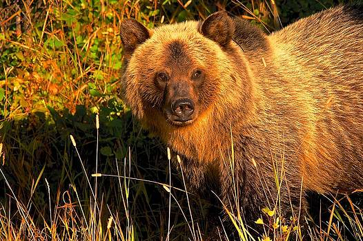 Griz in the Sun by Gary Campbell