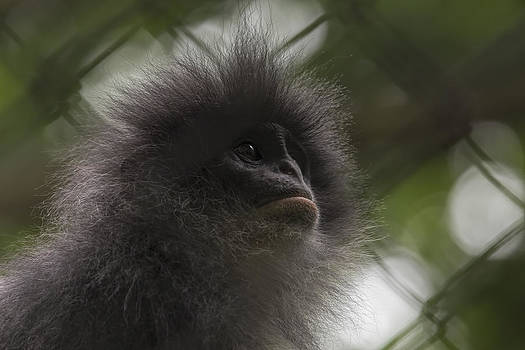 Stephen Barrie - Grizzled Leaf Monkey