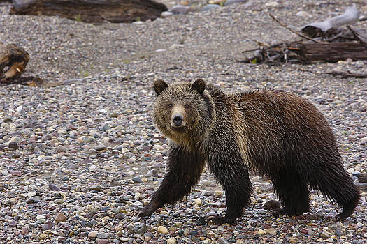 Grizzly Bear by Charles Warren