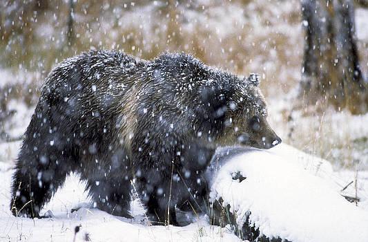 Scott Wheeler - Grizzly Bear in falling Snow