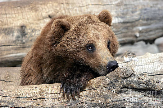 Grizzly Bear Relaxation by Lincoln Rogers