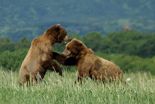 Patricia Twardzik - Grizzly Bears Playing