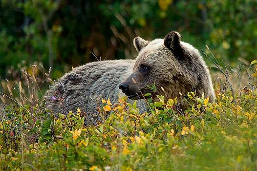Grizzly in the Meadow by Gary Campbell