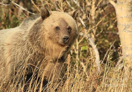 Adam Jewell - Grizzly In The Montana Woods