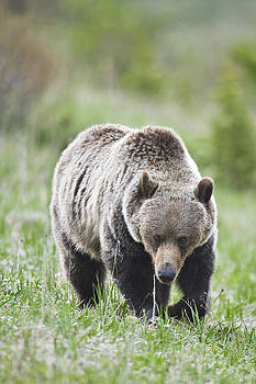 Grizzly looking for flowers to eat by Richard Berry