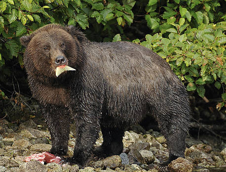 Grizzly with Salmon by David Marr
