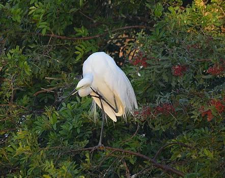 Patricia Twardzik - Grooming Great Egret