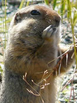 Christine Stack - Ground Squirrel