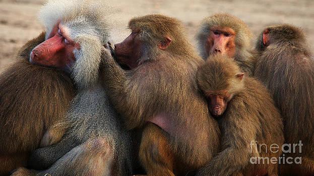 Nick  Biemans - Group Baboons close together