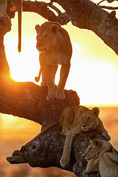 Group Of Lions Panthera Leo On Tree by Raffi Maghdessian