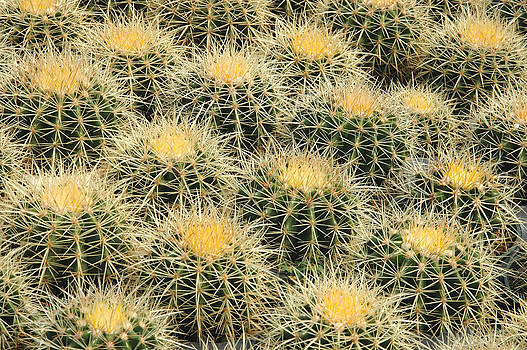 Grouping of Echinocactus grusonii or Golden Barrel Cactus by Rob Huntley