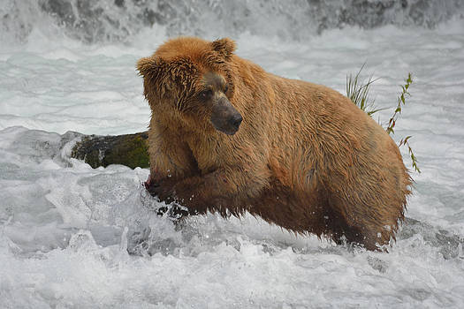 Patricia Twardzik - Growling Grizzly at the Falls