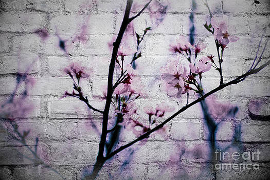 Beverly Claire Kaiya - Grunge Cherry Blossoms Over White Brick Wall
