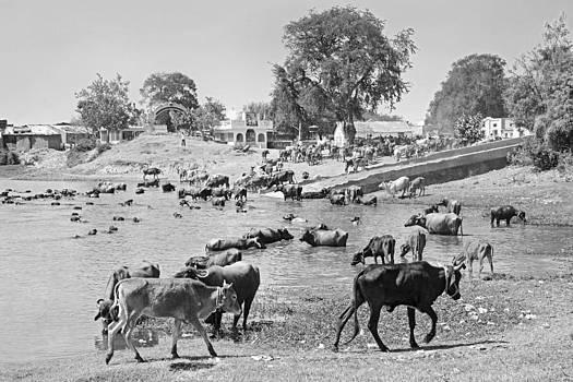 Kantilal Patel - Gujarat Hinterlands and Cattle