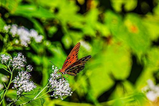Barry Jones - Nature - Macro - Gulf Fritillary Butterfly