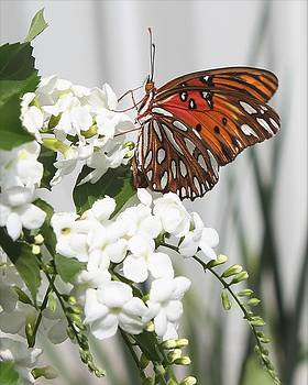 Erin Tucker - Gulf Fritillary Butterfly