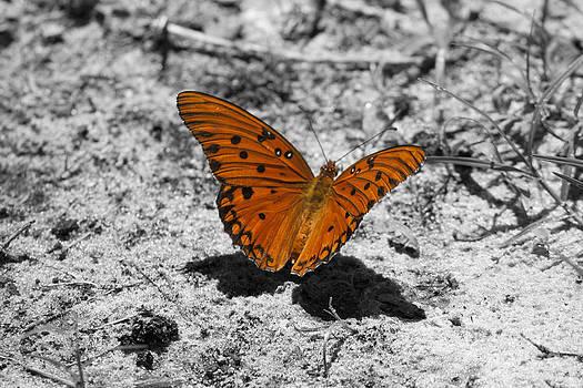 Gulf fritillary butterfly by Kristy Ollis