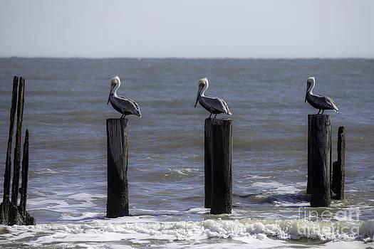 Tim Moore - Gulf Pelicans