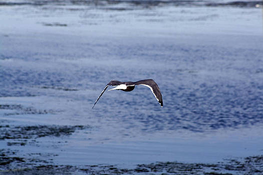 Terry Thomas - Gull flying over water