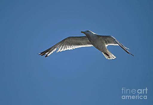 Gull Flying Within the Blue by Skye Ryan-Evans