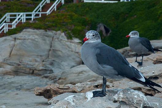 Gull by Greg Amptman