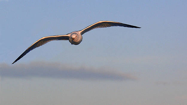 Gull in flight by Bill LITTELL