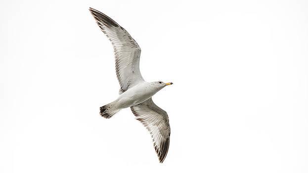 Gull in Flight by Garett Gabriel