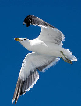 Gull in Flight by Karen E Phillips