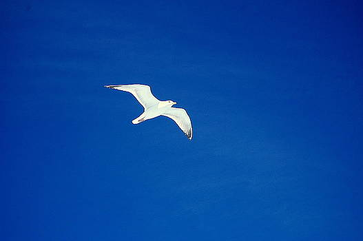 Linda Rae Cuthbertson - Gull in Flight