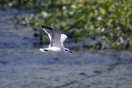 Terry Thomas - Gull in Flight over Water