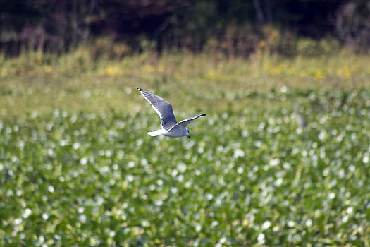 Terry Thomas - Gull in Flight