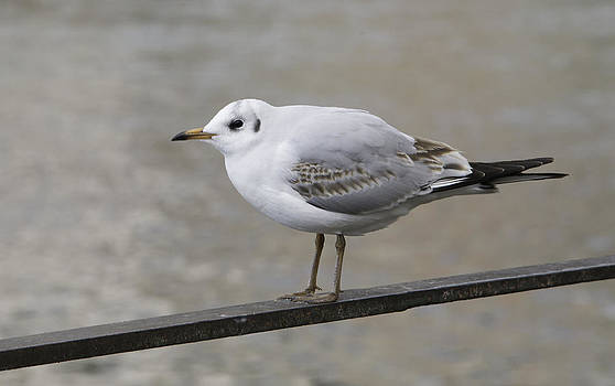 Gull in winter by Patrick Kessler