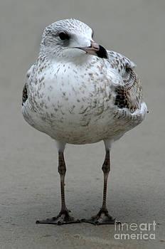 Gull by Lynn Jackson