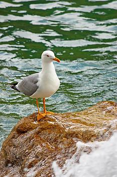 Gull on a rock by Borislav Marinic