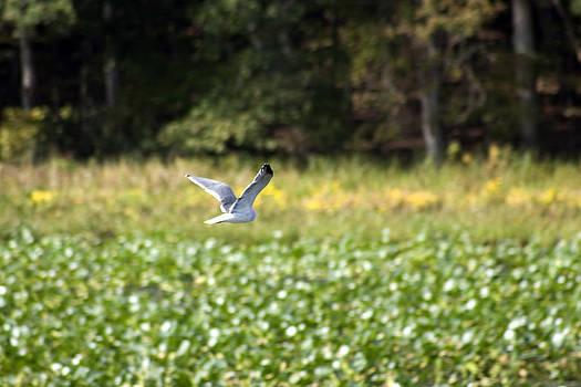 Terry Thomas - Gull Over Green Foliage