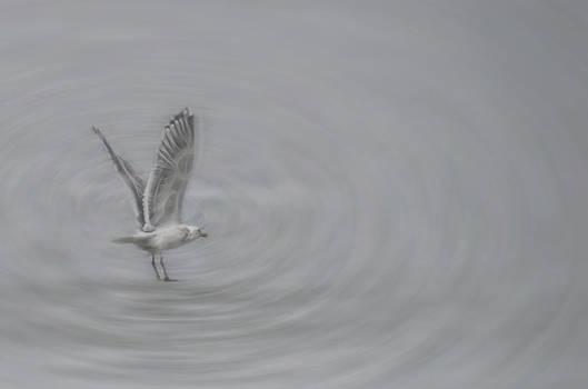 Gull Vortex by Beth Sawickie