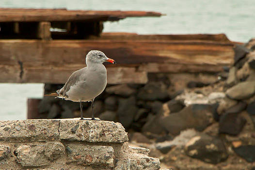 Gull Wall by Robert Bascelli