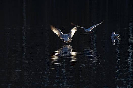 Gulls On Greenfield Lake by Phil Mancuso