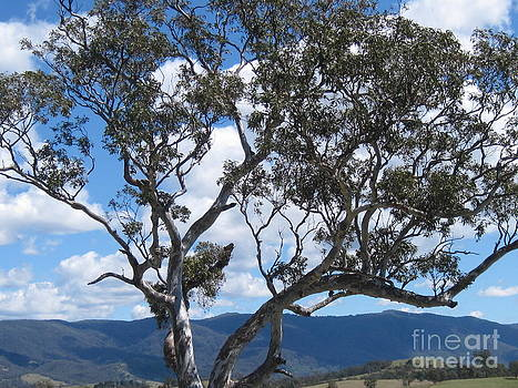 Gum tree by Donna Cavender