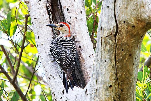 Gumbo Limbo Woodpecker by David Yunker