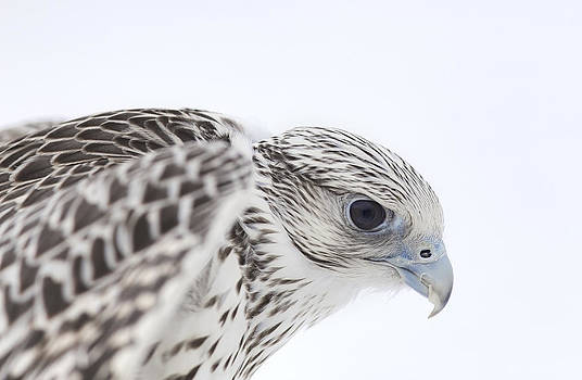 Nathan Mccreery - Gyrfalcon in Profile