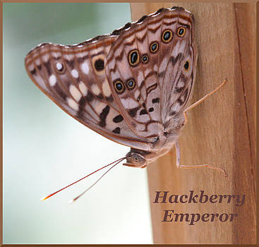 Hackberry Emperor by April Wietrecki Green