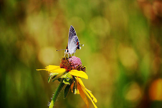 Hairstreak Butterfly on a Brown-Eyed Susan by Lorri Crossno