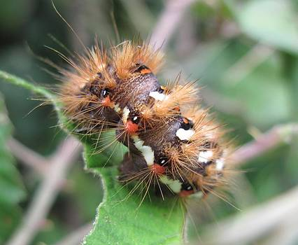 Hairy Caterpiller by Heather Gordon