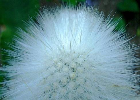 Hairy plant by Jo Ann