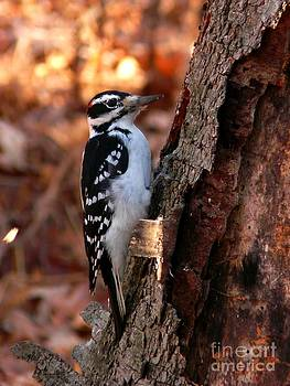 Christine Stack - Hairy Woodpecker at Gilsland Farm