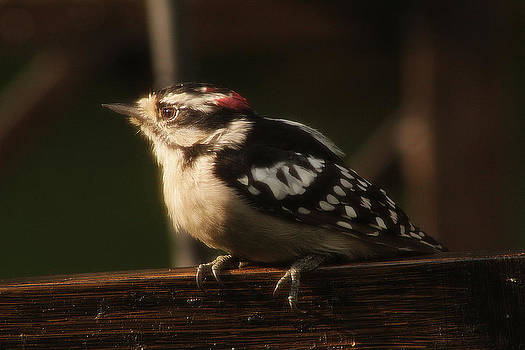 Scott Hovind - Hairy Woodpecker