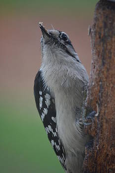 Hairy Woodpecker2 by Jennifer  King