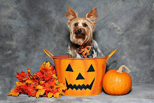 Halloween Yorkie #1 by John Rockwood