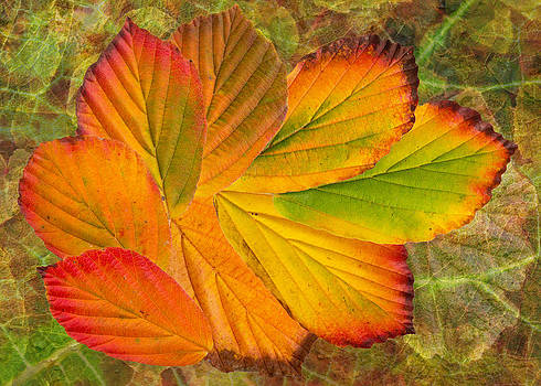 Hamamelis Leaves by Pete Hemington